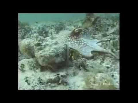 Shapeshifting Octopus, amazing camouflage