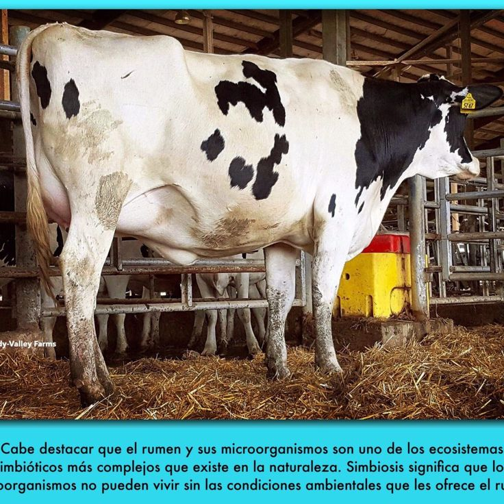 El rumen de la vaca sigue siendo el mismo órgano donde se llevan adelante procesos de fermentación, especialmente de forrajes, los cuales son realizados por diversos microorganismos. Cabe destacar que el rumen y sus microorganismos son uno de los ecosistemas simbióticos más complejos que existe en la naturaleza. Simbiosis significa que los microorganismos no pueden