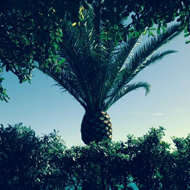 Palma a forma di ananas