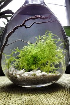 Moss water terrarium - this is beautiful NEVER THOUGHT OF A WATER TERRARIUM!!! ENDLESS POSSIBILITIES!!!!