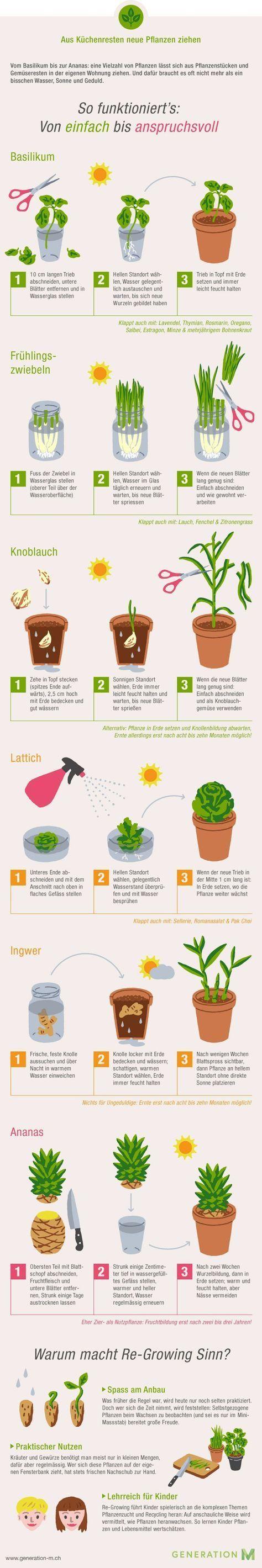 Die Infografik zeigt Ihnen wie Sie aus Küchenresten neues Gemüse ziehen. Druck