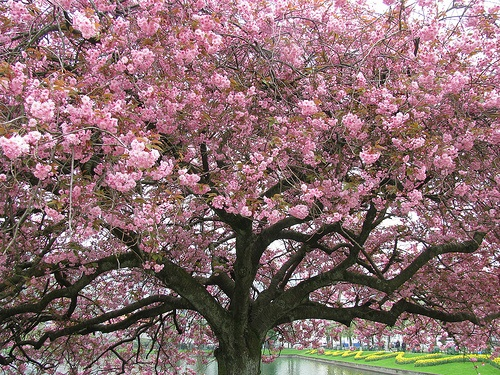 Similar To The Painting. Japanese Cherry TreeCherry BlossomsCherriesGardens Flowers