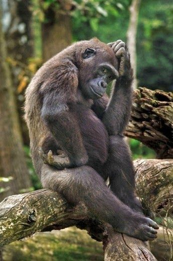 """Gorilla =^..^=Thanks, Pinterest Pinners, for stopping by, viewing, re-pinning, & following my boards. Have a beautiful day! ^..^ and """"Feel free to share on Pinterest ^..^ #apes"""