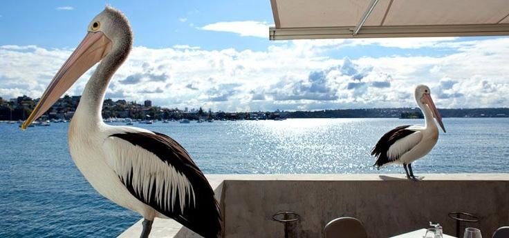 Pelicans in #Sydney