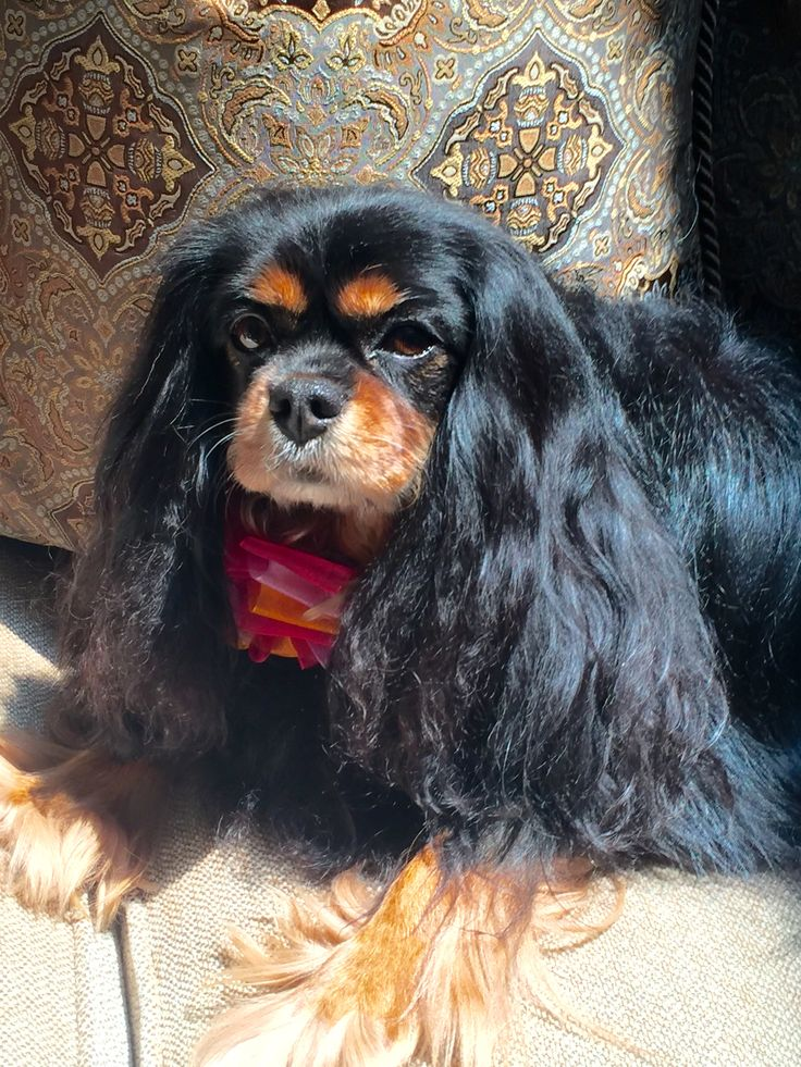 330 best Black and Tan Cavalier King Charles Spaniel images on
