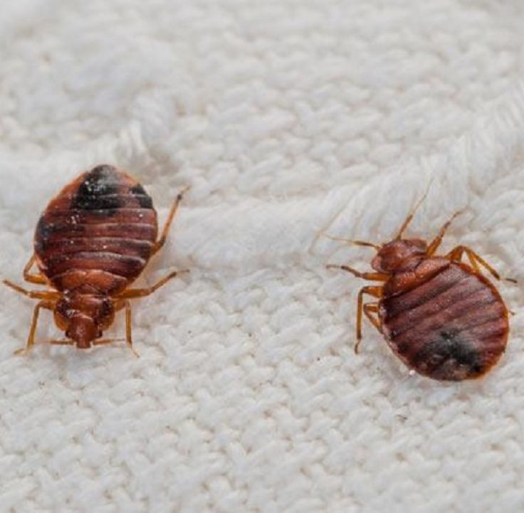 Bed Bugs Can Travel On People Suitcases And Clothing
