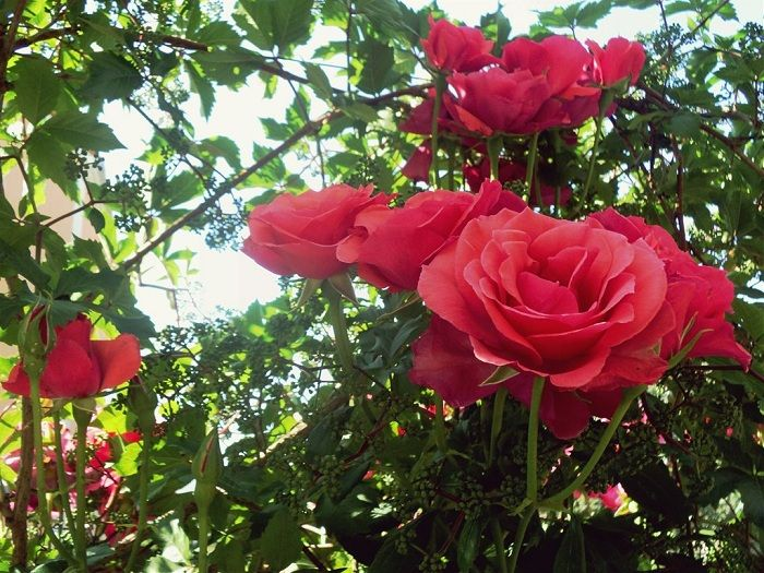 Maintaining A Rose Garden Is Really Not A Difficult Task If You Know What  You Are