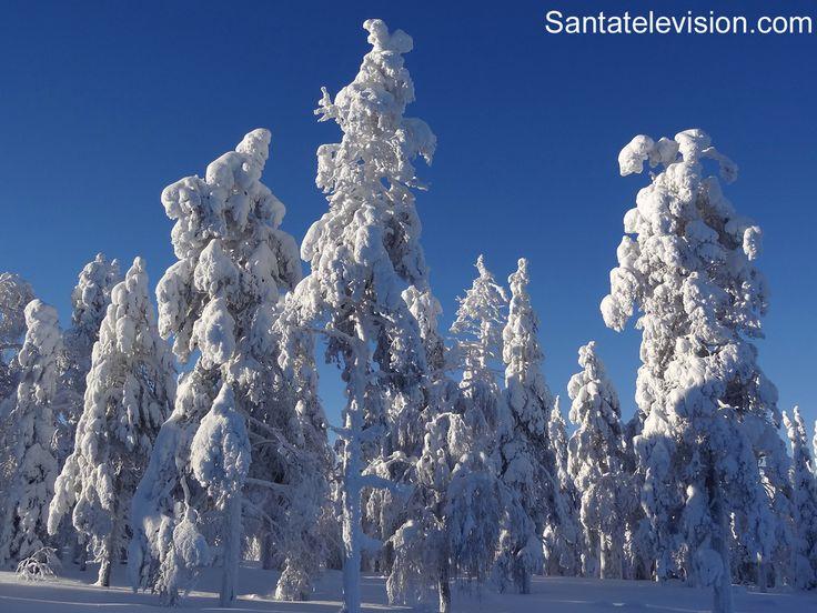 Árboles nevados en la Laponia Finlandesa