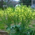broccoli-flowers
