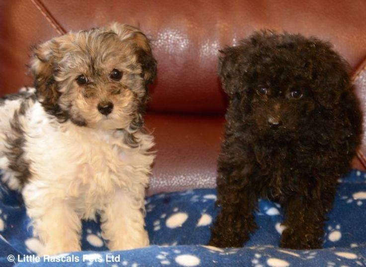 Stunning Cavapoos - Designer and Cross Breed Puppies For Sale