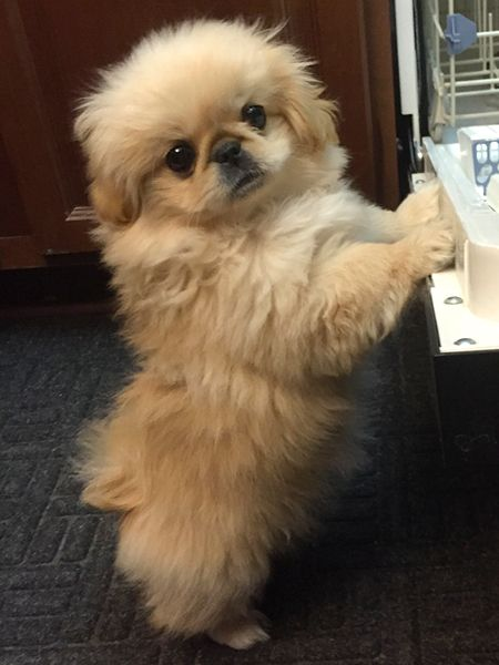 Helping with the dishes. #Pekingese