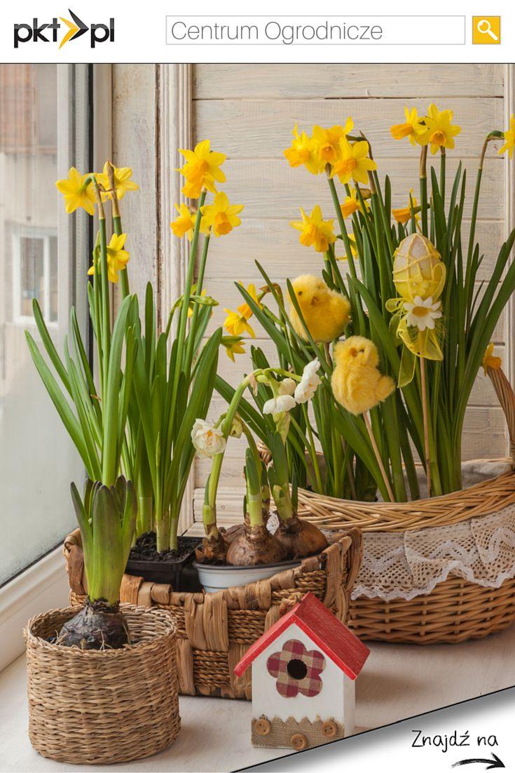 #Żonkile - nieodłączny element Wielkanocnych dekoracji. #WielkanocZpkt #SprawdzonyPolecony #kwiaty #dekoracje #ogród
