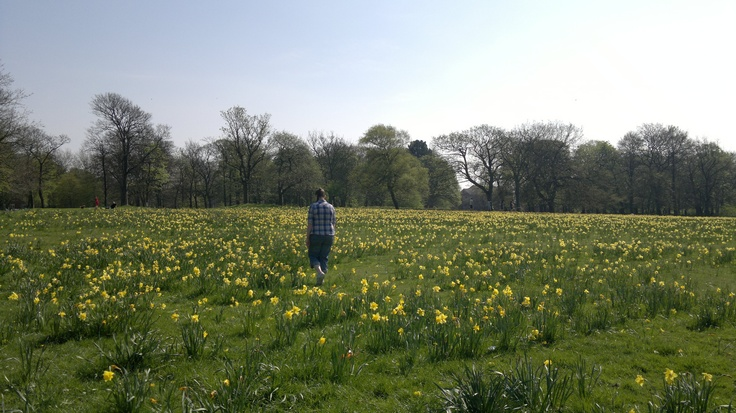 daffodil field at sefton park