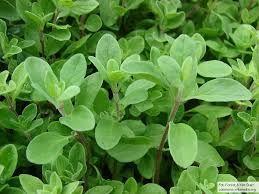 Znalezione obrazy dla zapytania zioła które leczą