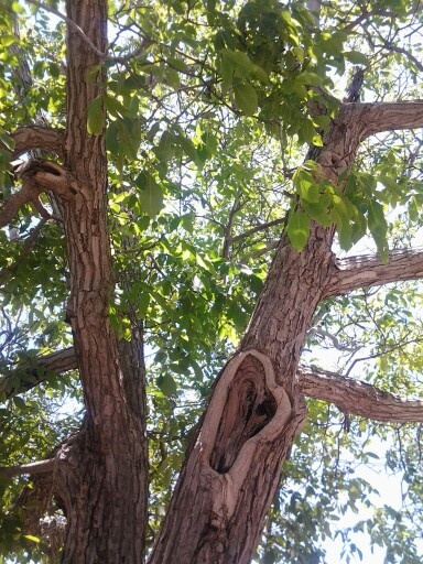 Karidi (Walnut) tree