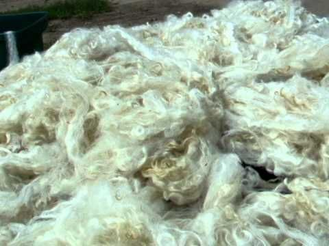The Fermented Suint Method (FSM) of cleaning wool is shown here. This is my second batch in the barrel. It's a Border Lieceister fleece. To learn more about ...
