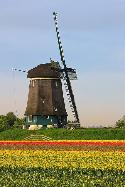 Dutch Cliche - Windmills and Tulips - Netherlands. This photo was taken on April 29, 2010 in Obdam, North Holland, NL.