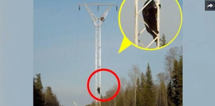 Un ours noir est grimpé à un pylône électrique pour... piller le nid d'un couple de corbeaux.