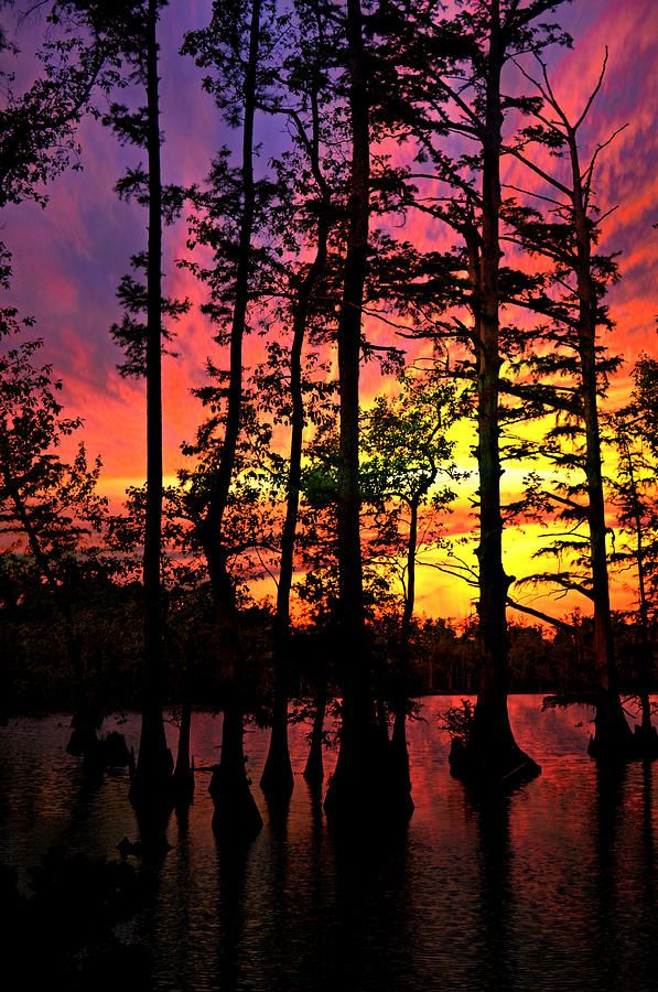 ✮ Vivid sunset on Horseshoe Lake silhouettes Bald Cypress trees  in Southern Illinois