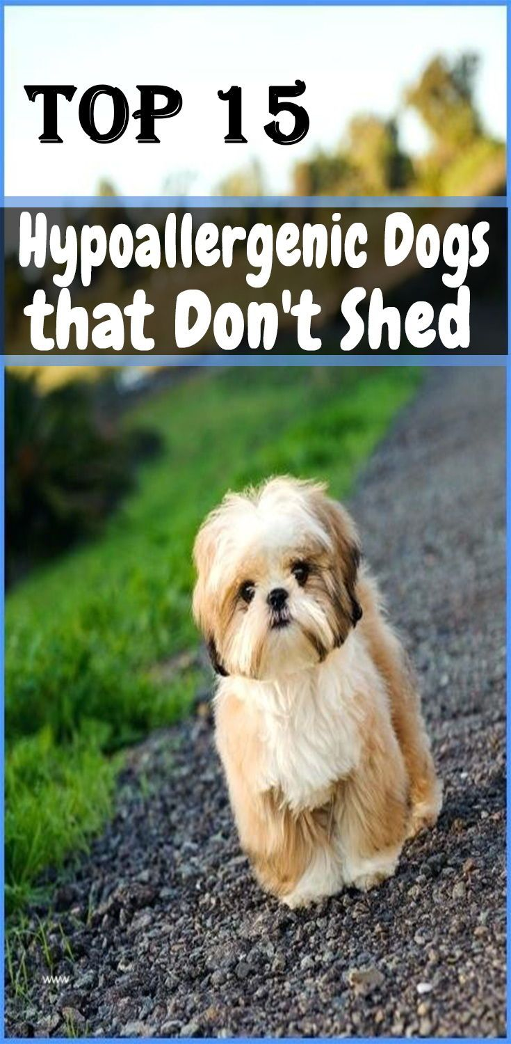 Top 15 Hypoallergenic Dogs That Don T Shed Hypoallergenic Dogs