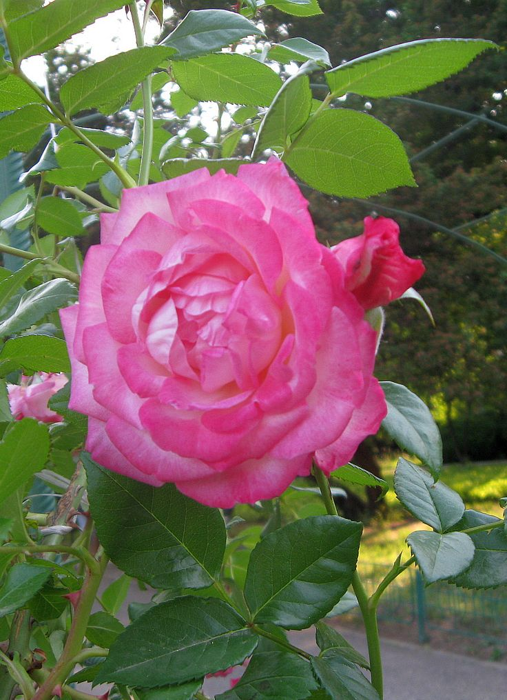 Gradina Botanica - ...tufele de spini au trandafiri