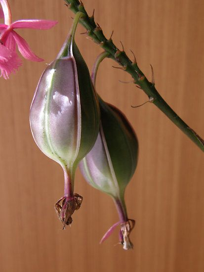 crucifix-orchid-seed-pods