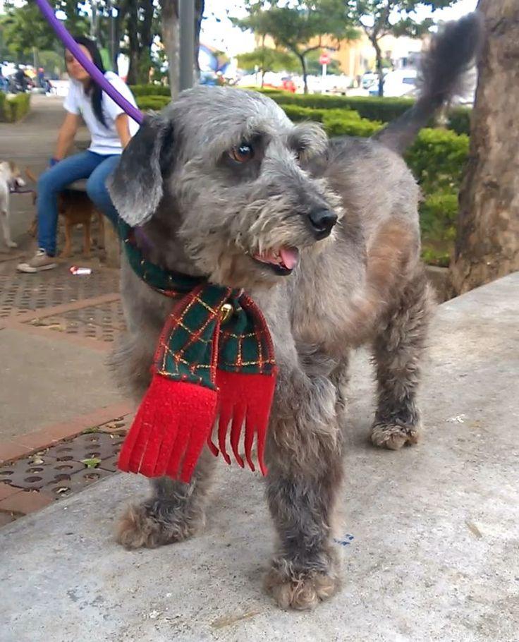 Chiripa lo encontramos con una herida enorme, agonizando y lleno de gusanos.. Su recuperacion ha sido impresionante, y aunque se salvo de chiripa, hoy es un perrito muy amigable y jugueton.