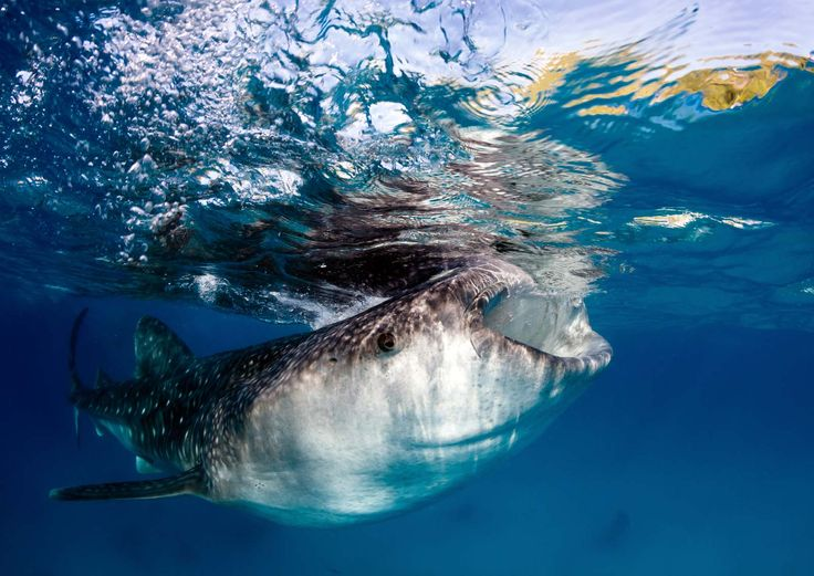 Tubarão-baleia em Donsol, Filipinas