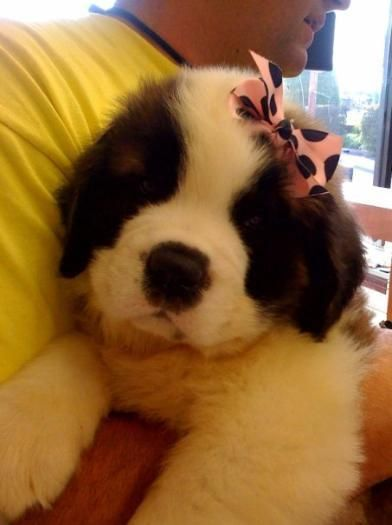 My cousins Sherri and Jason are Saint Bernard breeders and these are their latest batch of babies.
