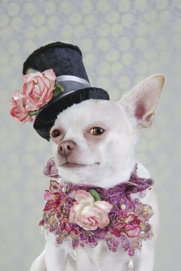 Dog Vogue, Portraits of Chihuahuas in High Fashion by Sophie Gamand. Looks like Johnny Depp as The Mad Hatter.