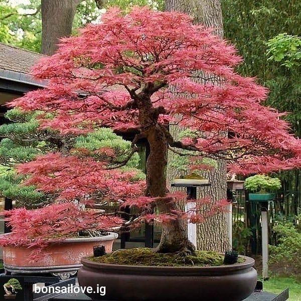 BONSAI CERAMIC TATTOO ART (With images) Bonsai fruit tree