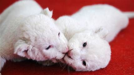 Cuddling white lion cubs and 15 more of the week's best animal photos