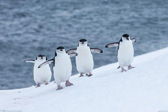 Pingwiny - plakat