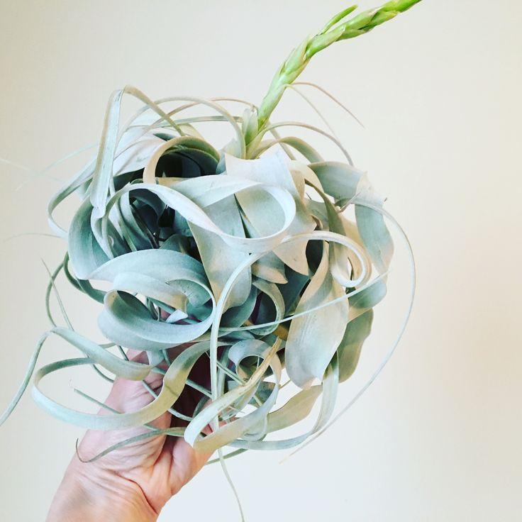 Beautiful air plant.  #twigflowersTO #torontoflorist #toronto #airplant #shopsmallbusiness