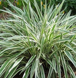 Full Sun Plant - variegated flax lily.  LOVE@