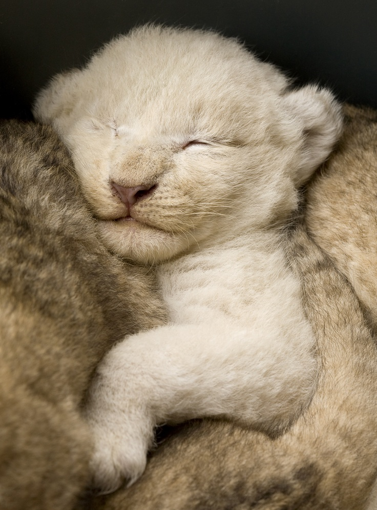 cute baby white lions - photo #2