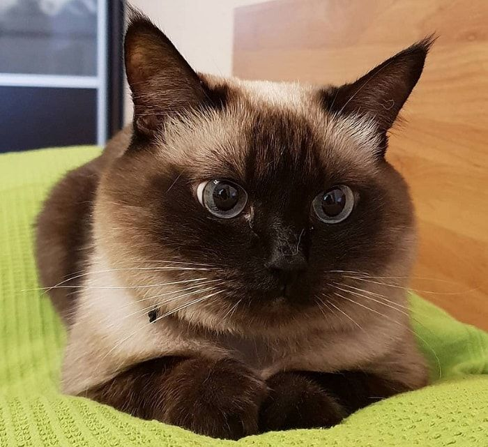 50 Female Siamese Cat Names Siamese Cats Blue Point Cat Names