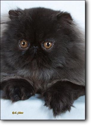 :: CFA Persian Breed Council - Solid Division Winners 2010-2011 ::