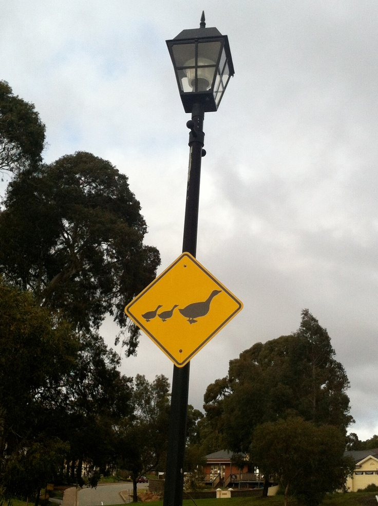 Duck crossing in the Adelaide Hills, South Australia