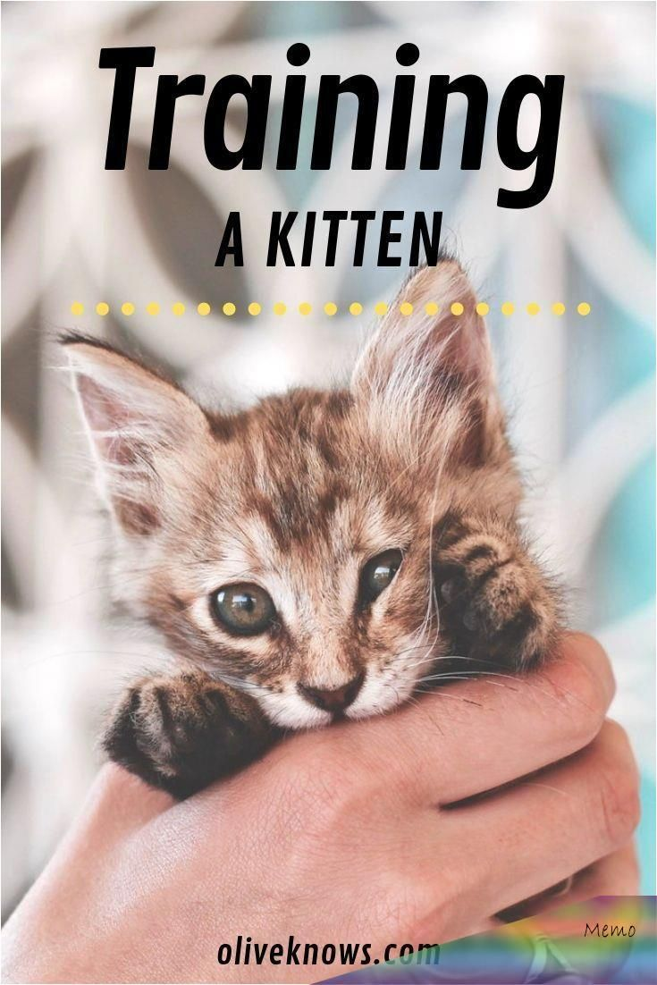 Bringing A New Kitten Home Requires Some Time And Training So To Save You Some Here Is How To Train A Kitten And W In 2020 Training A Kitten Kitten Care