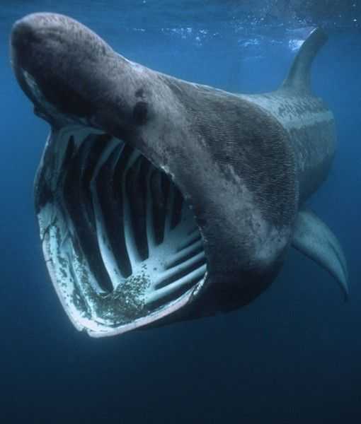 Basking shark is the second largest living fish after the for The fish that ate the whale