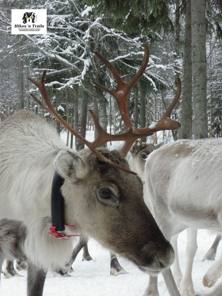 Reindeer farm in Hossa was an interesting attraction during our adventure with young customers from UK.