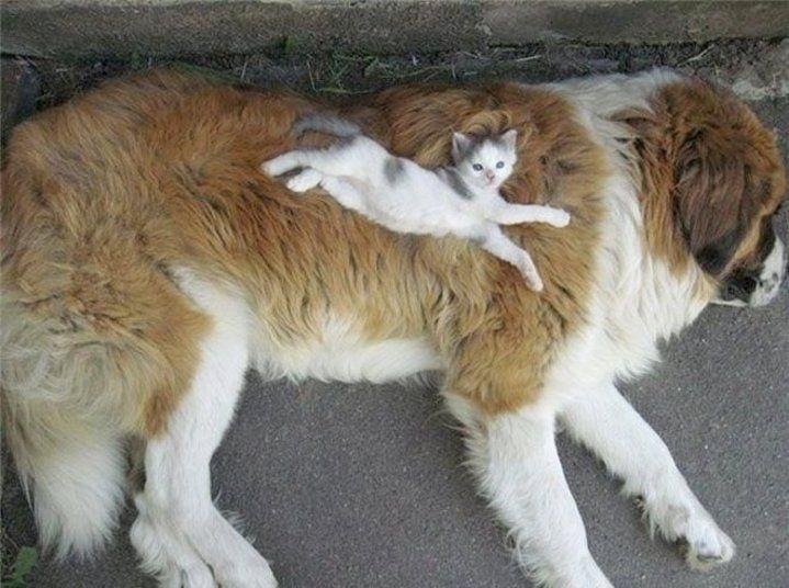 Quem acha que cães e gatos só brigam está muito enganado. Quando eles se dão bem, os abusados felinos transformam os cães em cama e travesseiro