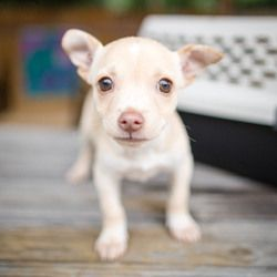 Adopt Willie On Petfinder Puppies And Kitties Cute Chihuahua Lap Dogs
