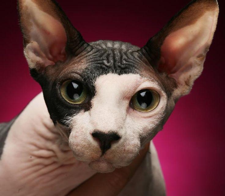 Cómo cuidar un gato esfinge - http://www.notigatos.es/como-cuidar-un-gato-esfinge/