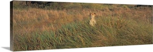 Premium Thick-Wrap Canvas Wall Art Print entitled Kenya, Masai Mara National Park, View of a Cheetah camouflaged in a grassland, None