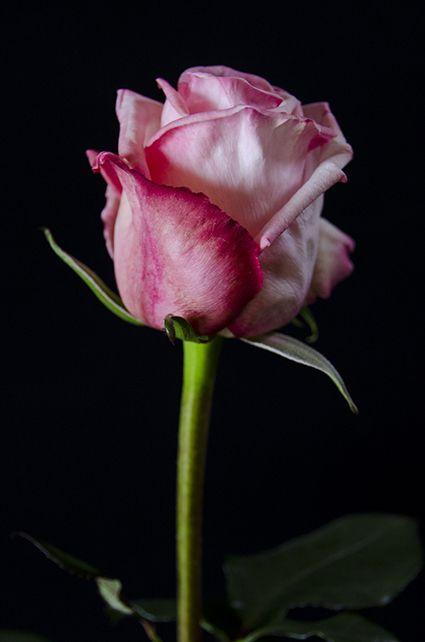 ✿⊱❥ Pink Ohara - Eden Roses Ecuador                                                                                                                                                                                 Mais