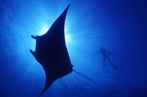 swimming with these Giant manta ray at Lady Elliot Island