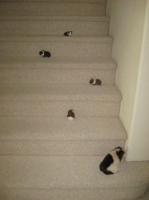 guinea pig babies!