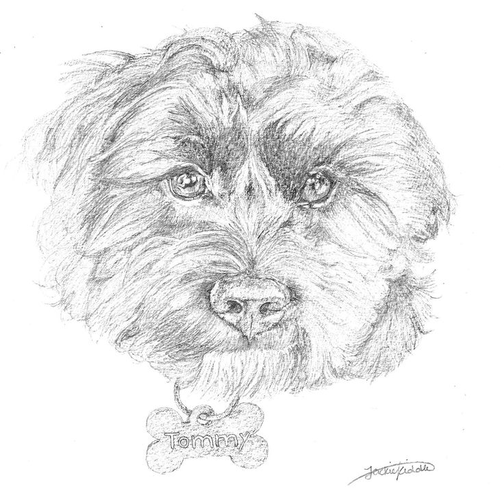 Tommy the Cavoodle, drawing